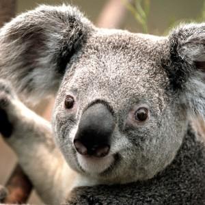 Koala Homes
